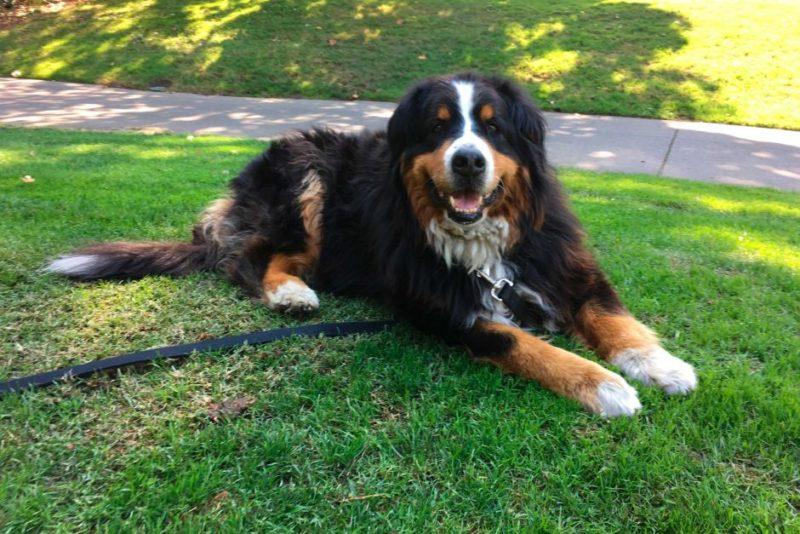Izzy the Bernese Mountain Dog