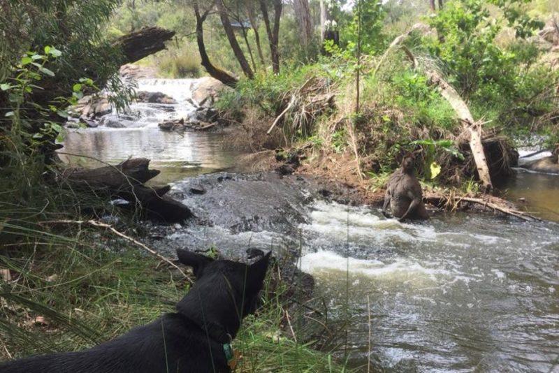 Kangaroo in creek 3