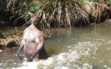 Kangaroo in the river 1