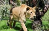 Perth zoo lioness