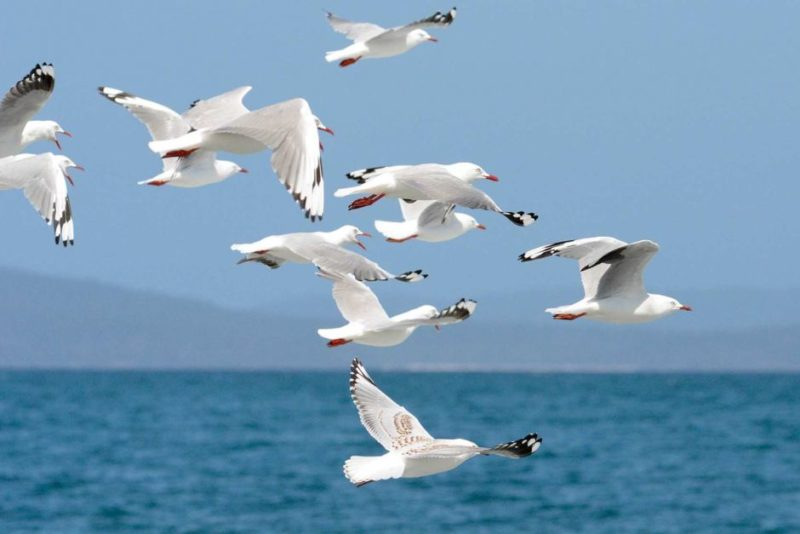 Silver gulls in flight
