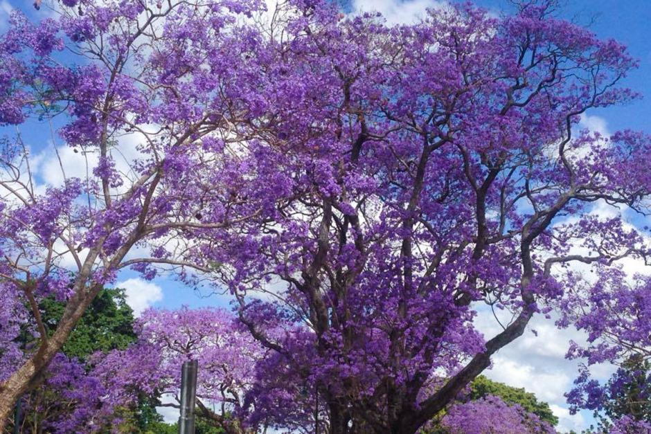 The bright purple flowers become part of the scenery in Brisbane every October.