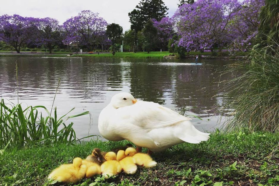 Ducklings sit among the jacarandas at the University of Queensland.