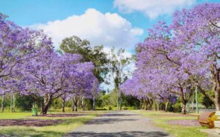 Goodna is well known for the many paths lined with jacaranda trees.