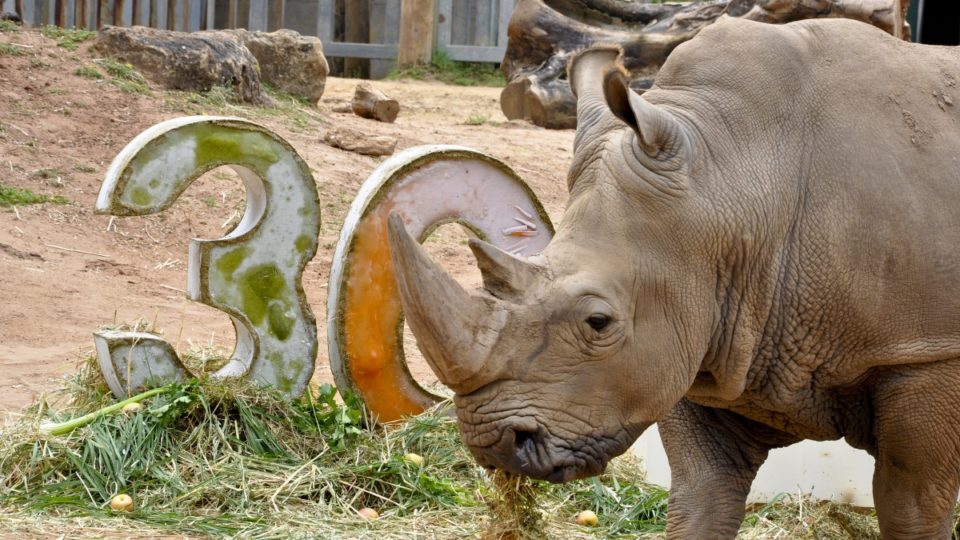 Memphis the white rhino has celebrated his 30th birthday at Perth Zoo.
