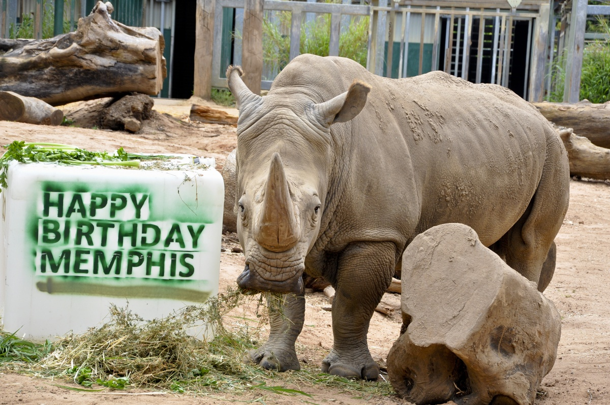 Memphis the rhino is pictured at Perth Zoo celebrating his 30th birthday with his ice juice cake