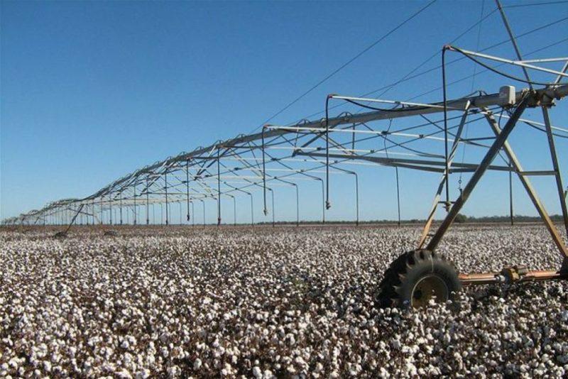 Cotton under irrigation