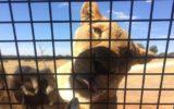 Lion cage at Monarto