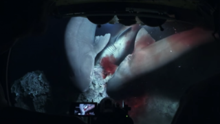 Seven bluntnose sixgill sharks were feasting on a sperm whale carcass when the submarine arrived.