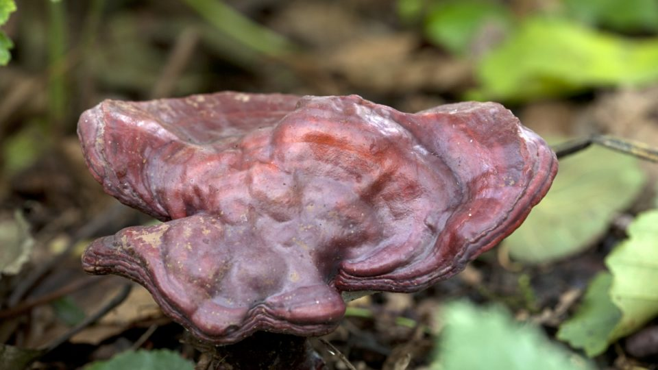 functional mushrooms