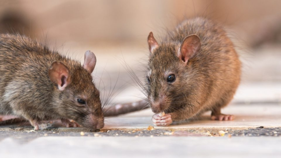 rat infestation, Melbourne (rats in India pictured)