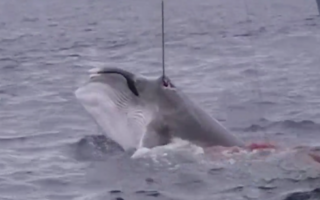 Sea Shepherd whaling footage