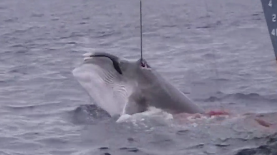 Sea Shepherd Releases Suppressed Whaling Footage