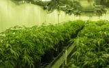 Cannabis plants cultivated by Australian company Cann Group.