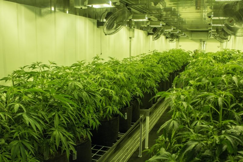 Cannabis plants cultivated by Australian company Cann Group.