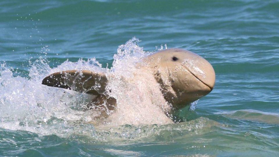 An Australian snubfin dolphin found in Papua New Guinea