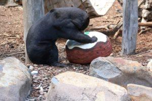 bear eats present