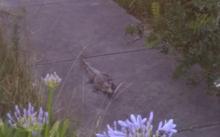 crocodile found in driveway in heidelberg heights