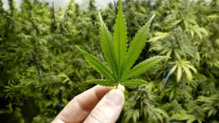 Medicinal cannabis is now legal in Australia, but rules mean demand is extremely low.