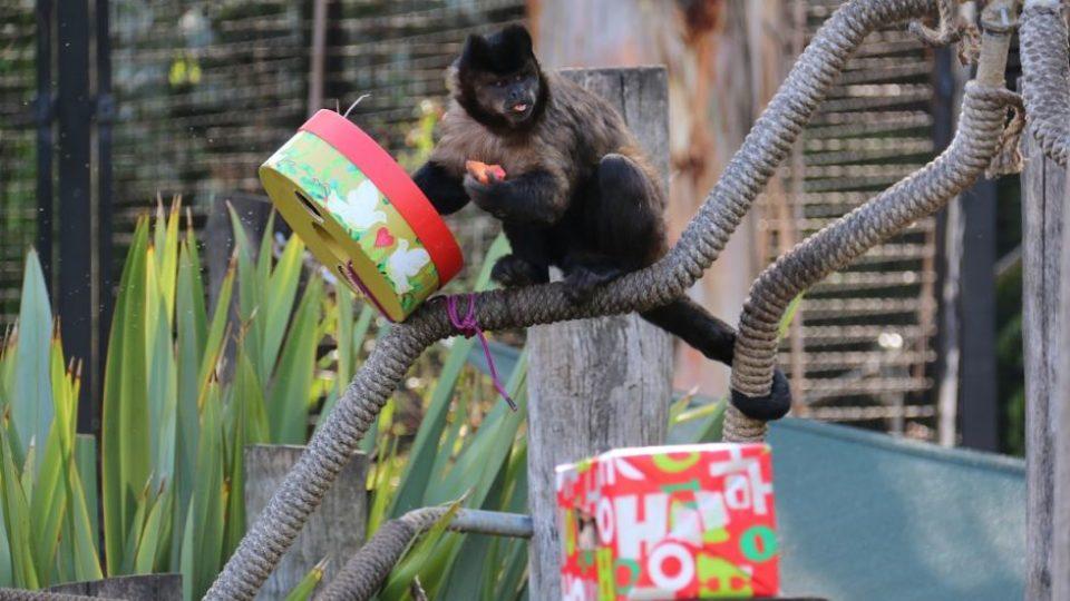 monkey eats present