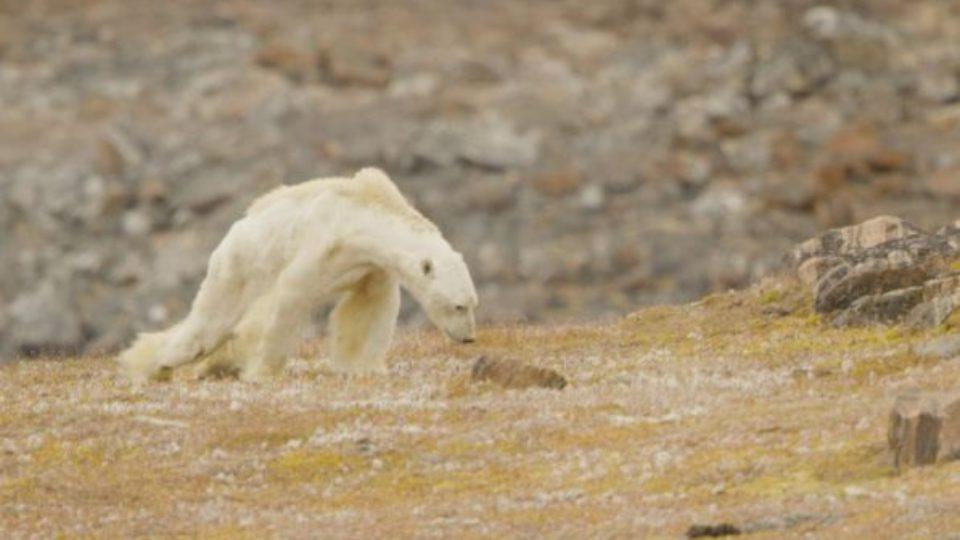 polar-bear-starving