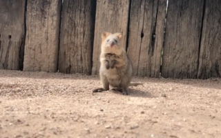 A baby quokka has taken its first hops in adorable video.