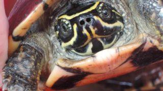 turtle cambodia