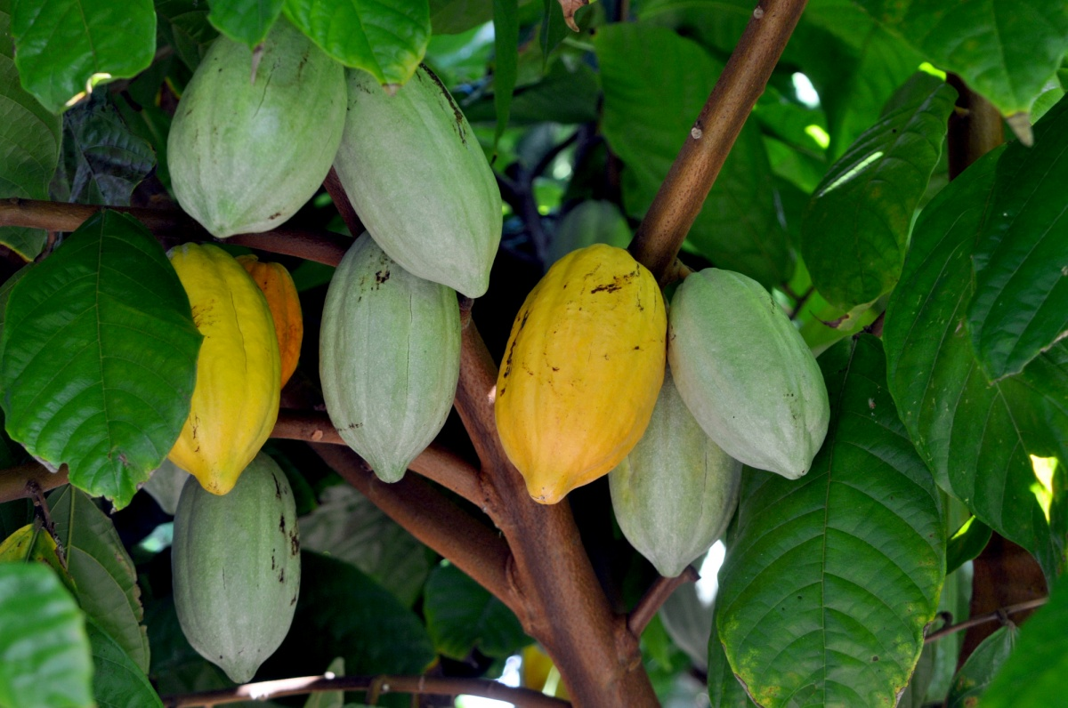 Cocoa needs consistent rainfall and warm temperatures to grow.