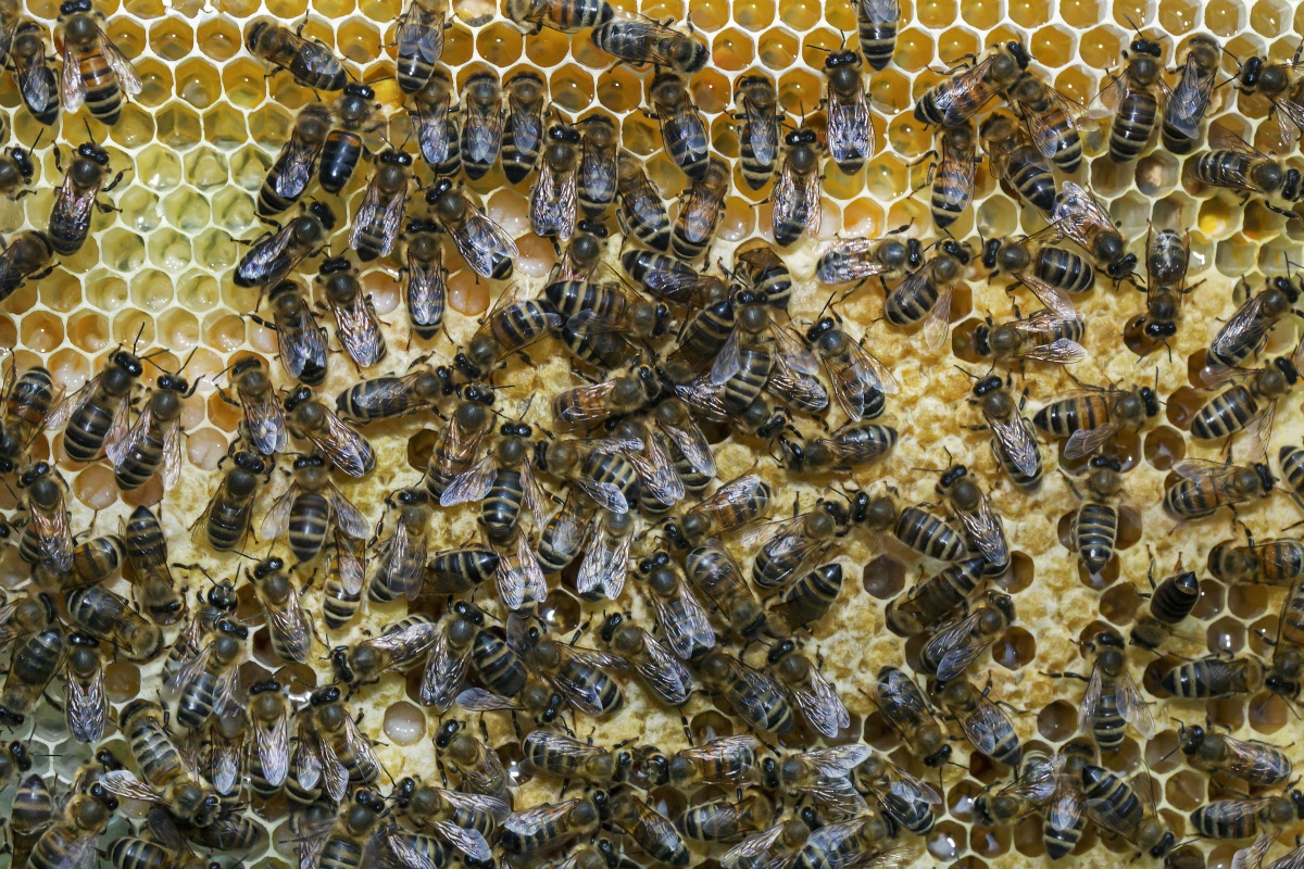 honey-bees-hive