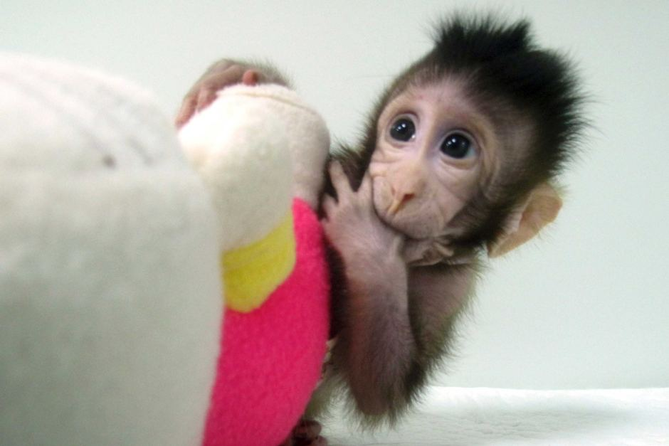 Researchers expect more macaque clones like Zhong Zhong to be born soon