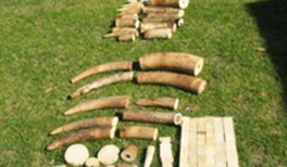 Ivory seized at Perth airport in 2015 were en route from Malawi to Malaysia.