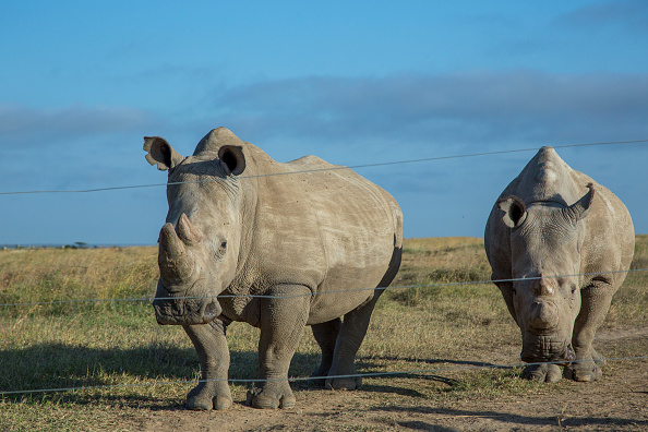The southern white rhino (left) and the northern white rhino (right) were hoped to mate.