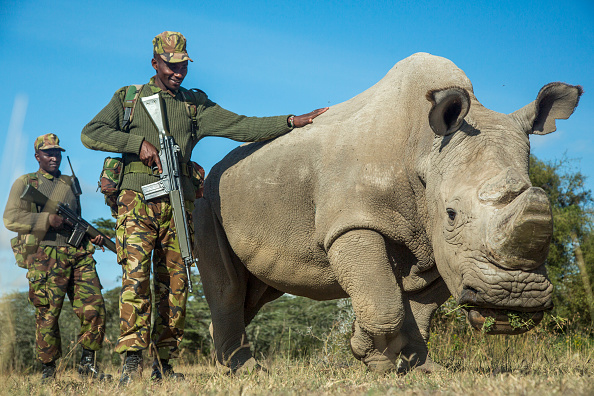 Sudan, the northern white rhino was protected by armed guards in Kenya.