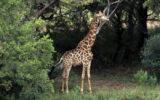 giraffe named gerald