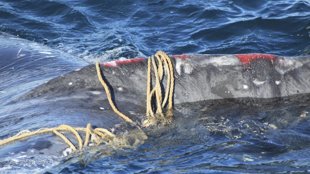National Parks and Wildlife Service will work to free the humpback whale on Wednesday morning.