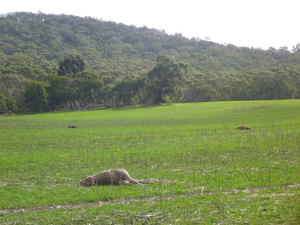 kangaroos wallan victoria cull