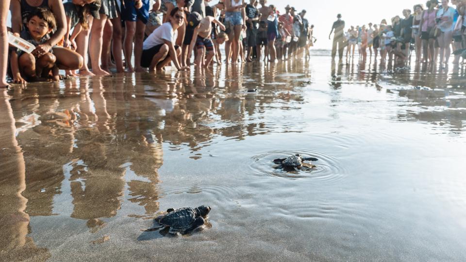 turtles bali