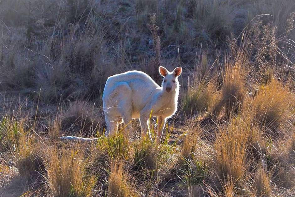white kangaroos