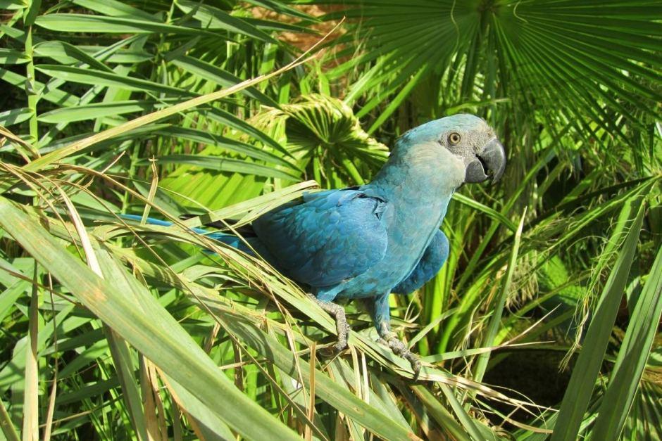 spix blue macaw as seen in Rio