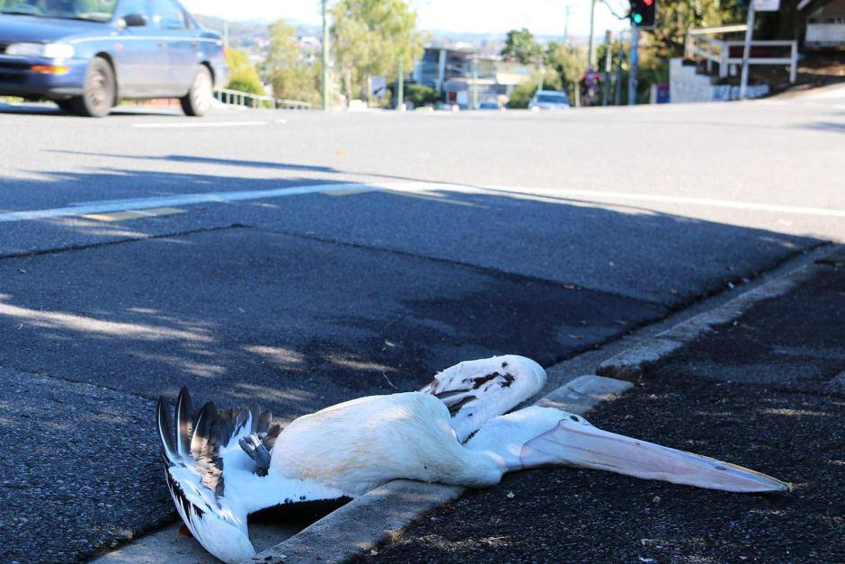 pelican death brisbane