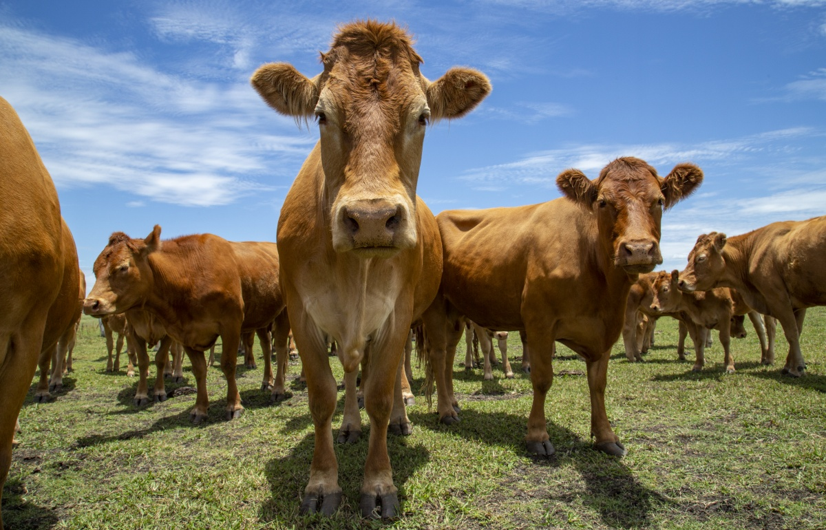 cow-paddock-beef-farm