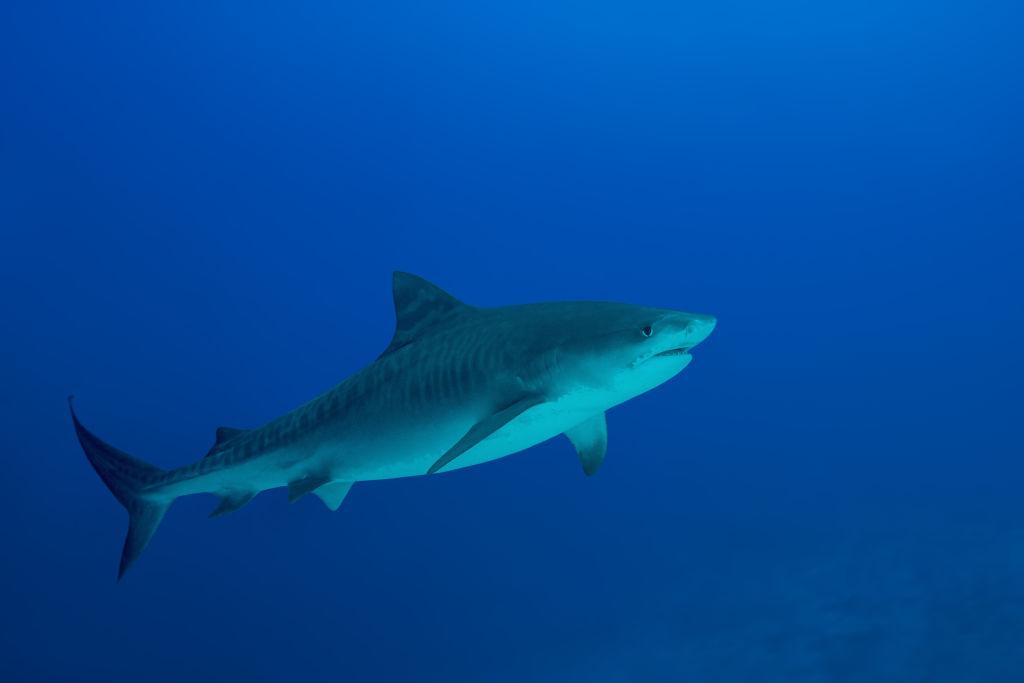 sharks in Cid Harbour