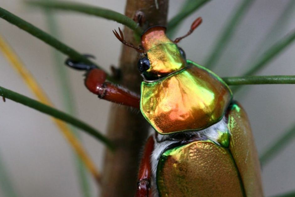 Christmas Beetles.Christmas Beetles Are Slowly Disappearing And We Re Not