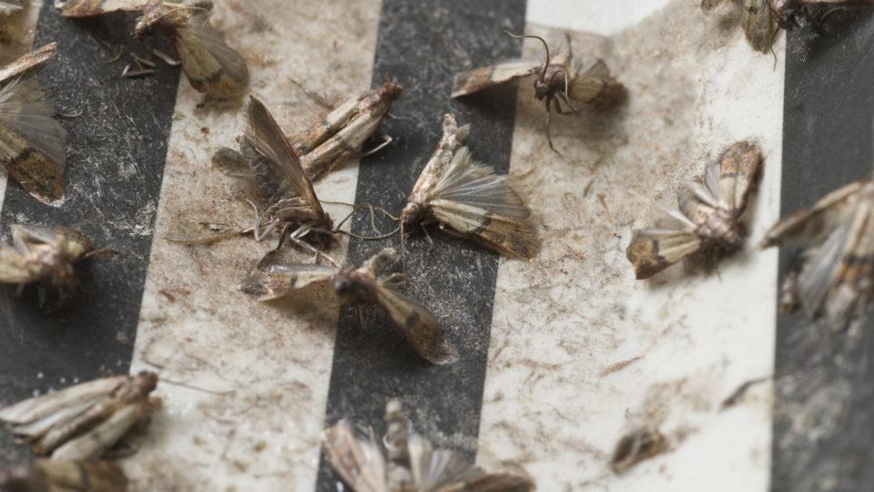 pantry-moths