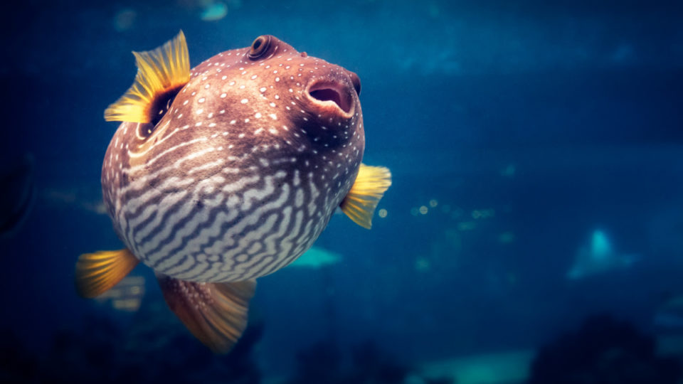 pufferfish in water