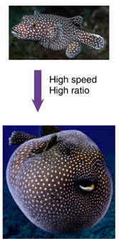 pufferfish before and after expanding