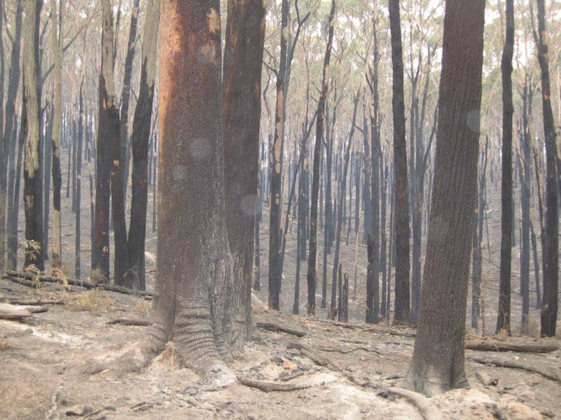 murrindindi-state-forest-black-saturday