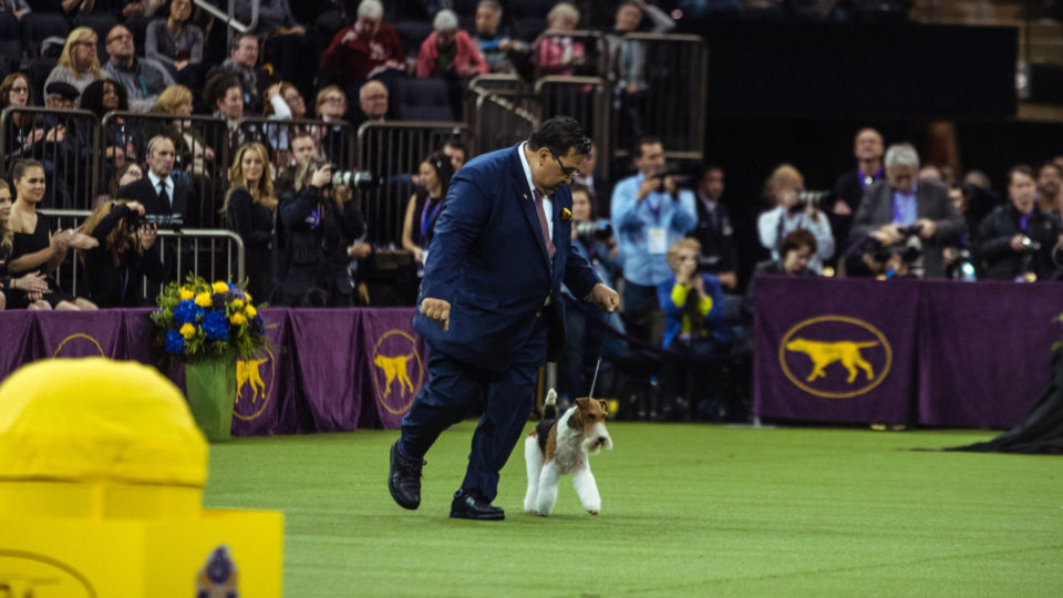 Westminster Dog Show: King continues reign of terriers