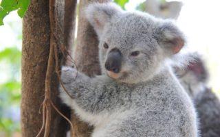 koala orangutan
