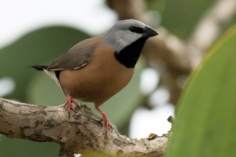 adani-blac-throat-finch